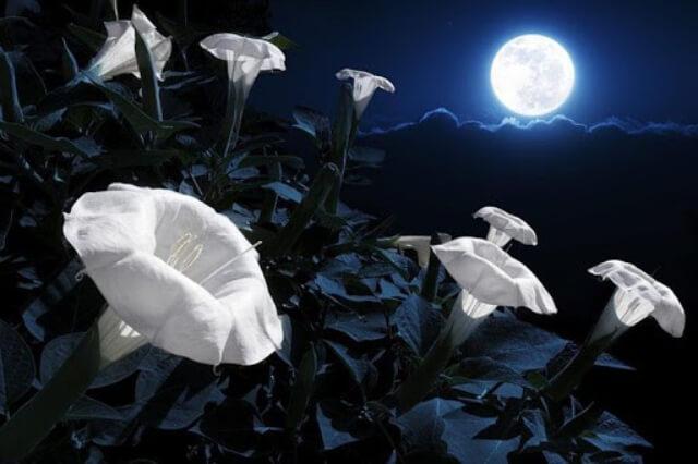 những cây có hoa nở về ban đêm như nhài quỳnh dạ hương có đặc điểm gì thu hút sâu bọ